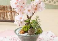 【イイハナ・ドットコム】 おうちでお花見が楽しめる!桜の盆栽の詳細へ