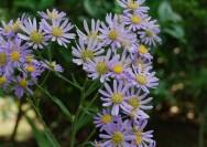 9月28日の誕生花『シオン(紫苑)』の花言葉の詳細へ