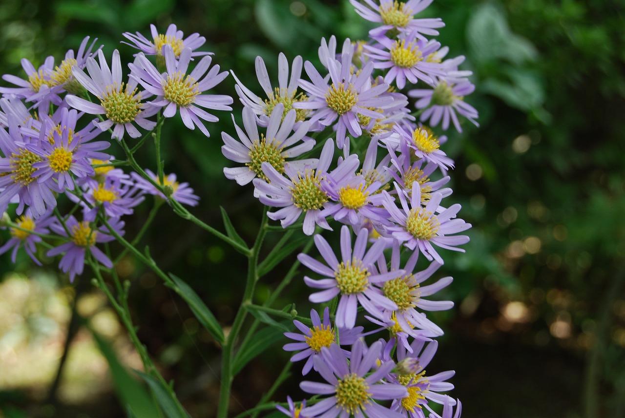 誕生花(シオン1)