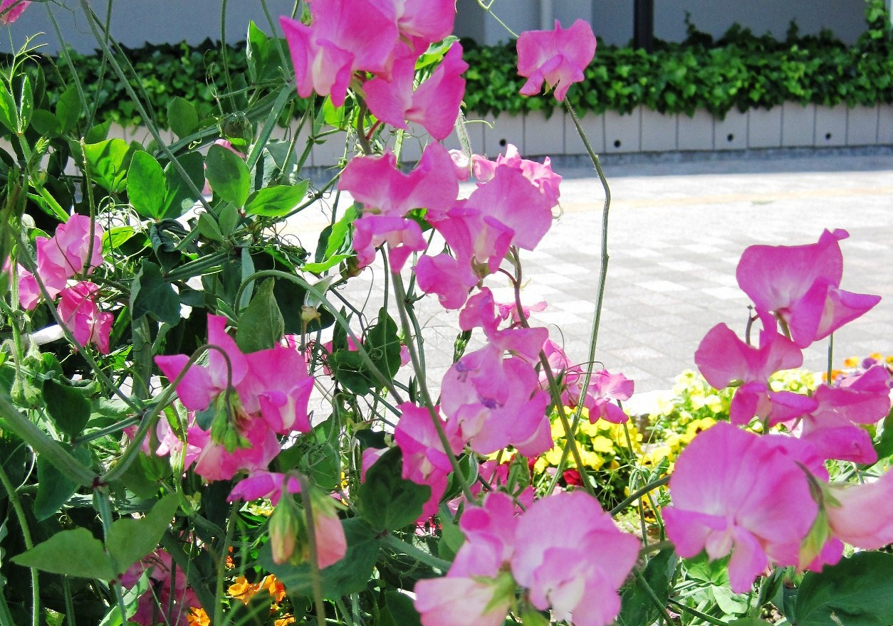 誕生花(4月8日_3)