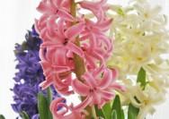 4月11日の誕生花『ヒヤシンス』の花言葉、育て方の詳細へ