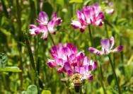 4月13日の誕生花『レンゲソウ(れんげ、げんげ、蓮華)』の花言葉、育て方の詳細へ
