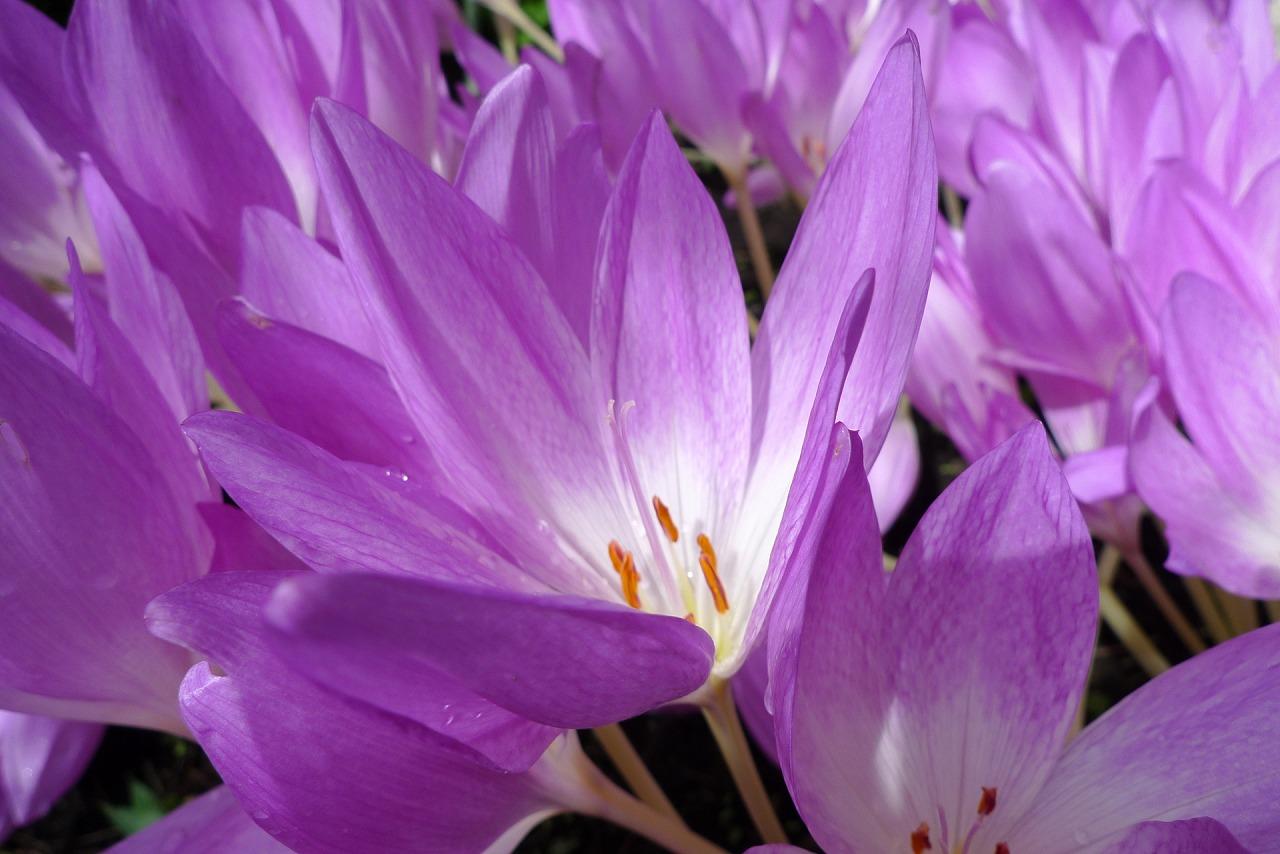 花言葉(コルチカム1)