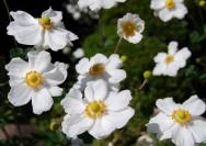 9月30日の誕生花『シュウメイギク(秋明菊)』の花言葉、育て方の詳細へ