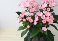10月の誕生花『ルクリア(ニオイザクラ)』の花言葉、育て方・咲かせ方のコツの詳細へ