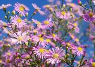 9月25日の誕生花『クジャクソウ(アスター)』の花言葉、育て方の詳細へ