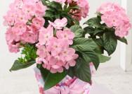 【イイハナ・ドットコム】10月の誕生花『ルクリア(ニオイザクラ)』のフラワーギフトの詳細へ