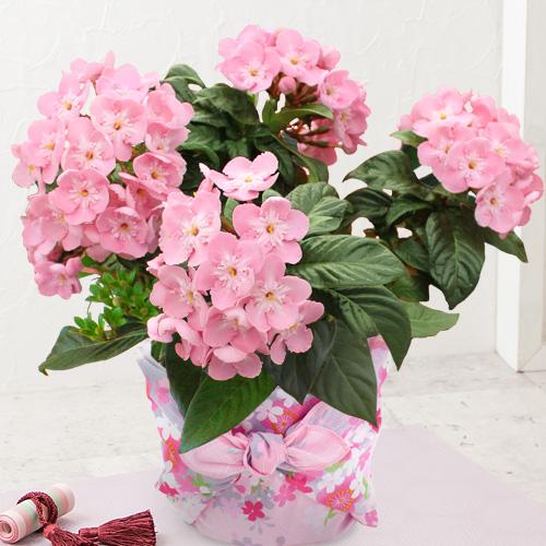 敬老の日 鉢植え「におい桜 さくら柄風呂敷包み」