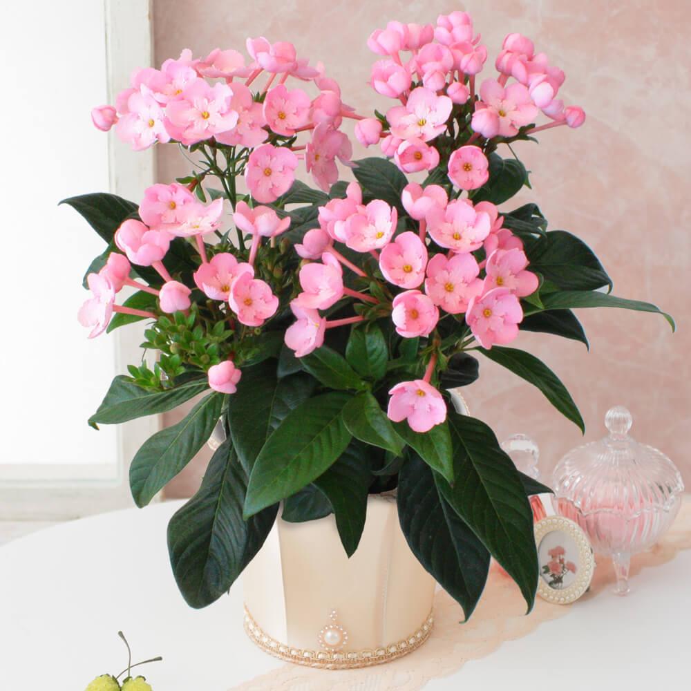 鉢植え「におい桜 ココ~ワンランク上の上質ギフト~」
