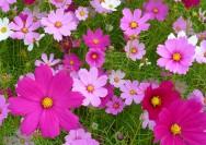 9月27日の誕生花『コスモス(秋桜)』の花言葉、育て方の詳細へ