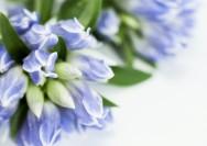 9月の誕生花『リンドウ』の花言葉、たくさんの花を咲かせるコツの詳細へ