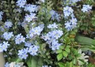 4月5日の誕生花『ワスレナグサ(忘れな草)』の花言葉、育て方の詳細へ
