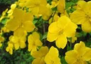 4月9日の誕生花『ヤマブキ』の花言葉、育て方の詳細へ