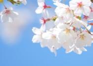 4月1日の誕生花『サクラ(ソメイヨシノ)』の花言葉、育て方の詳細へ