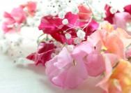 4月8日の誕生花『スイートピー』の花言葉、育て方の詳細へ