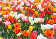 4月10日の誕生花『チューリップ』の花言葉、球根の植え方の詳細へ